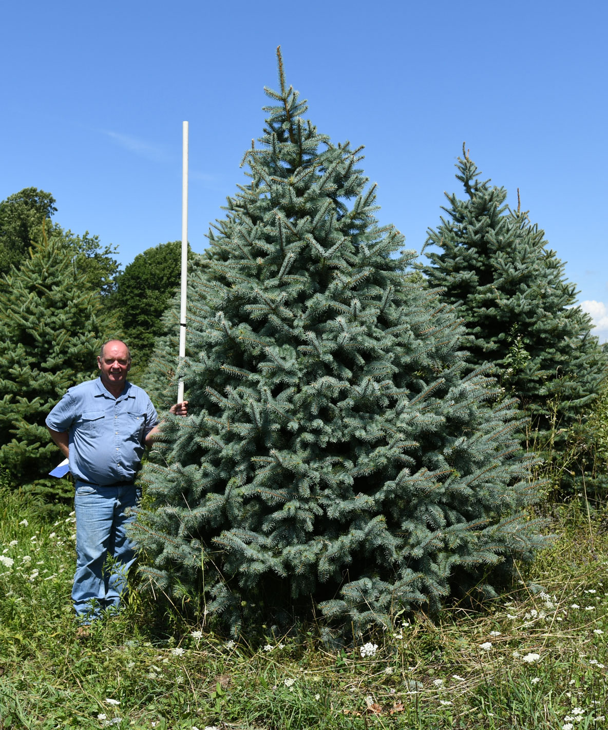 Colorado Blue Spruce 10'