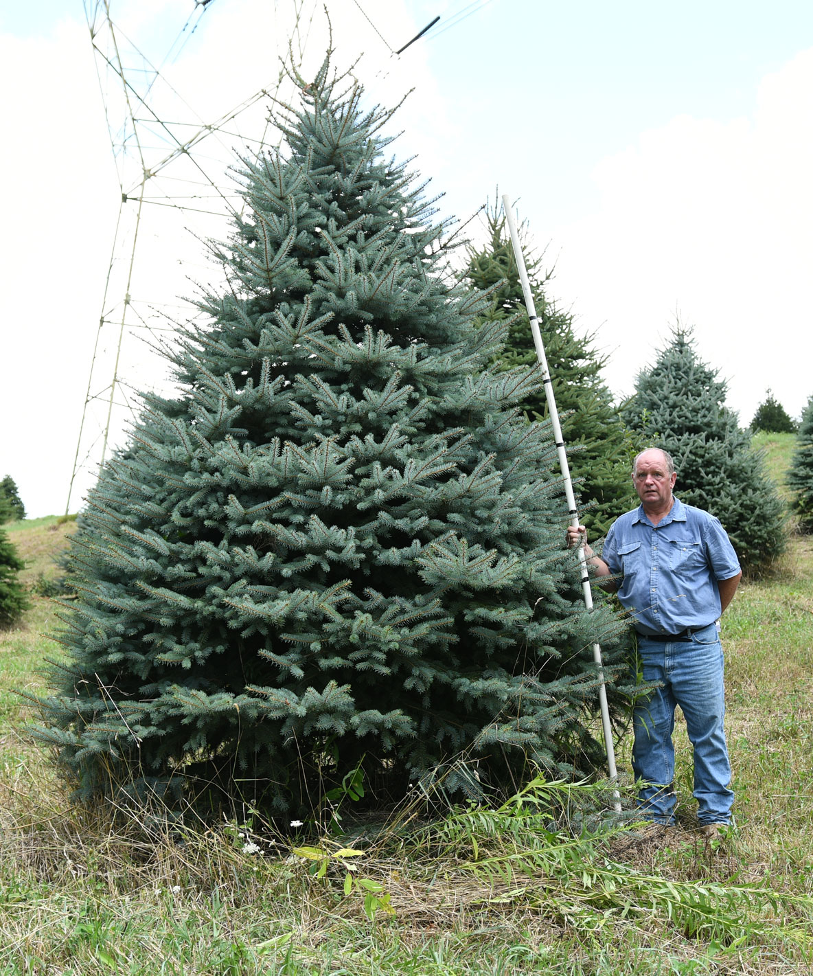 Colorado Blue Spruce 12'