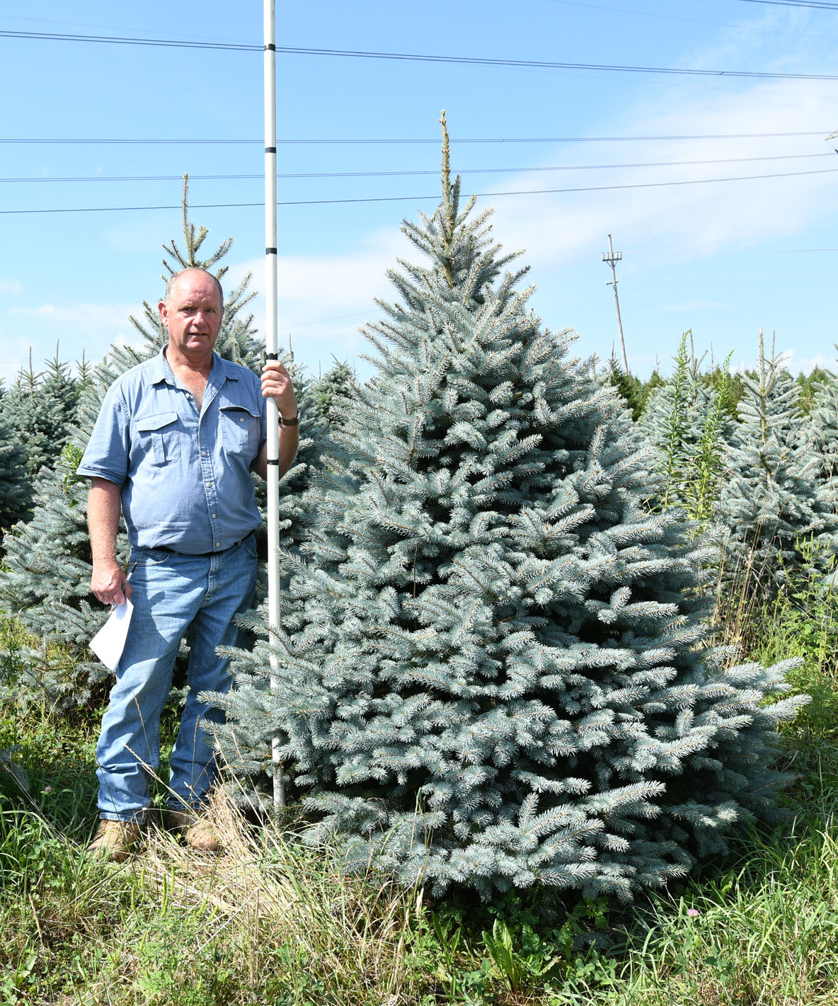 Colorado Blue Spruce 6'