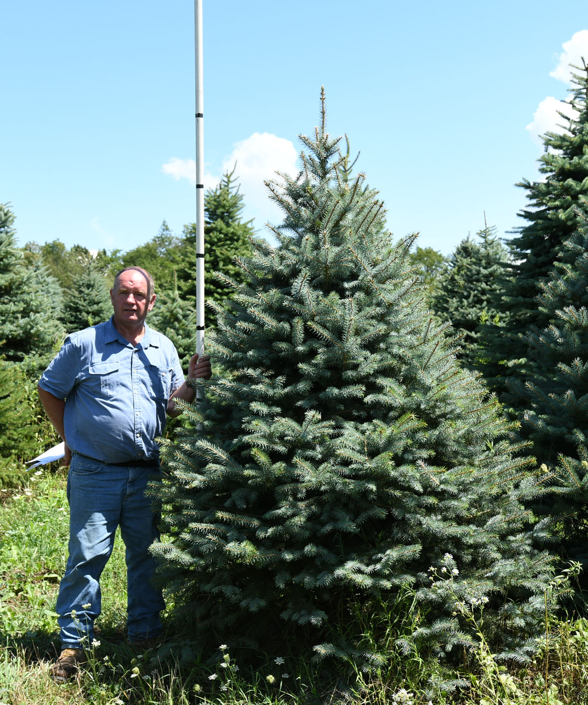 Colorado Blue Spruce 7'