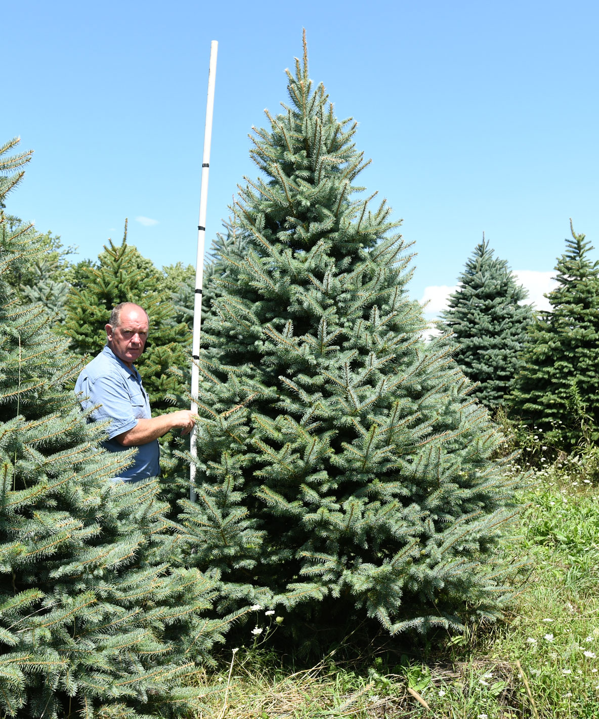 Colorado Blue Spruce 9'