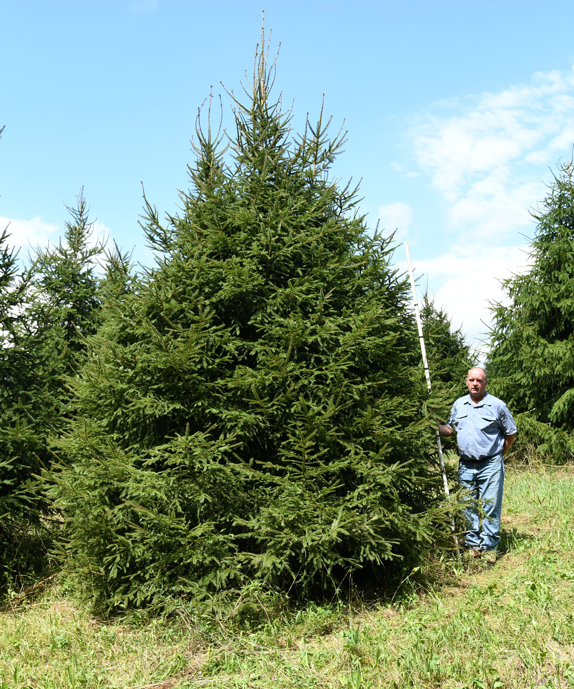 Norway Spruce 18'