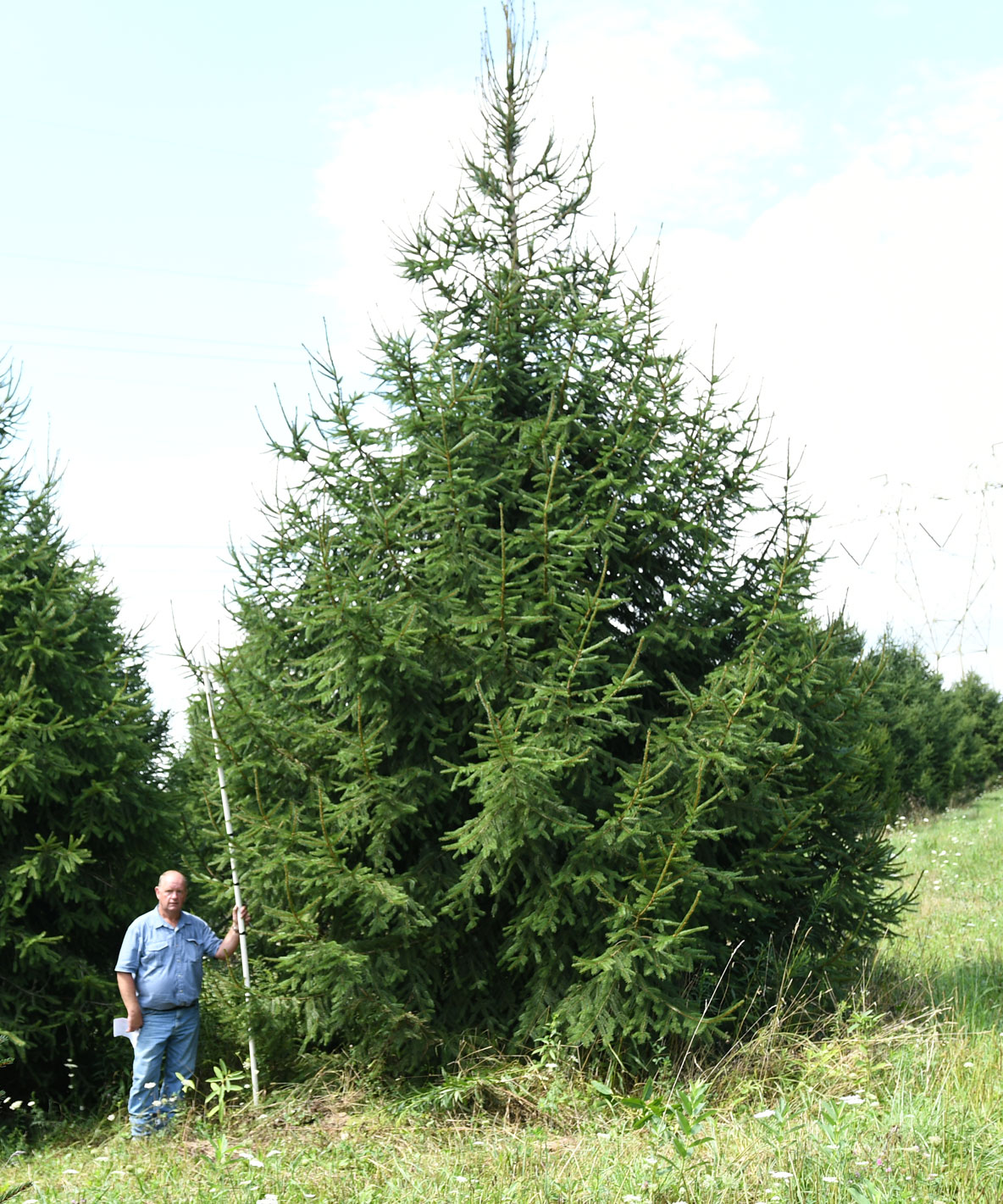 Norway Spruce 25'
