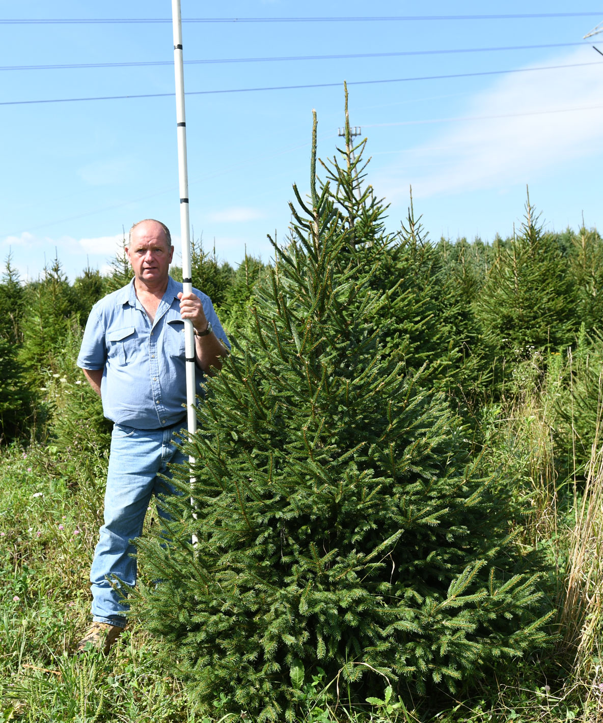 Norway Spruce 5'