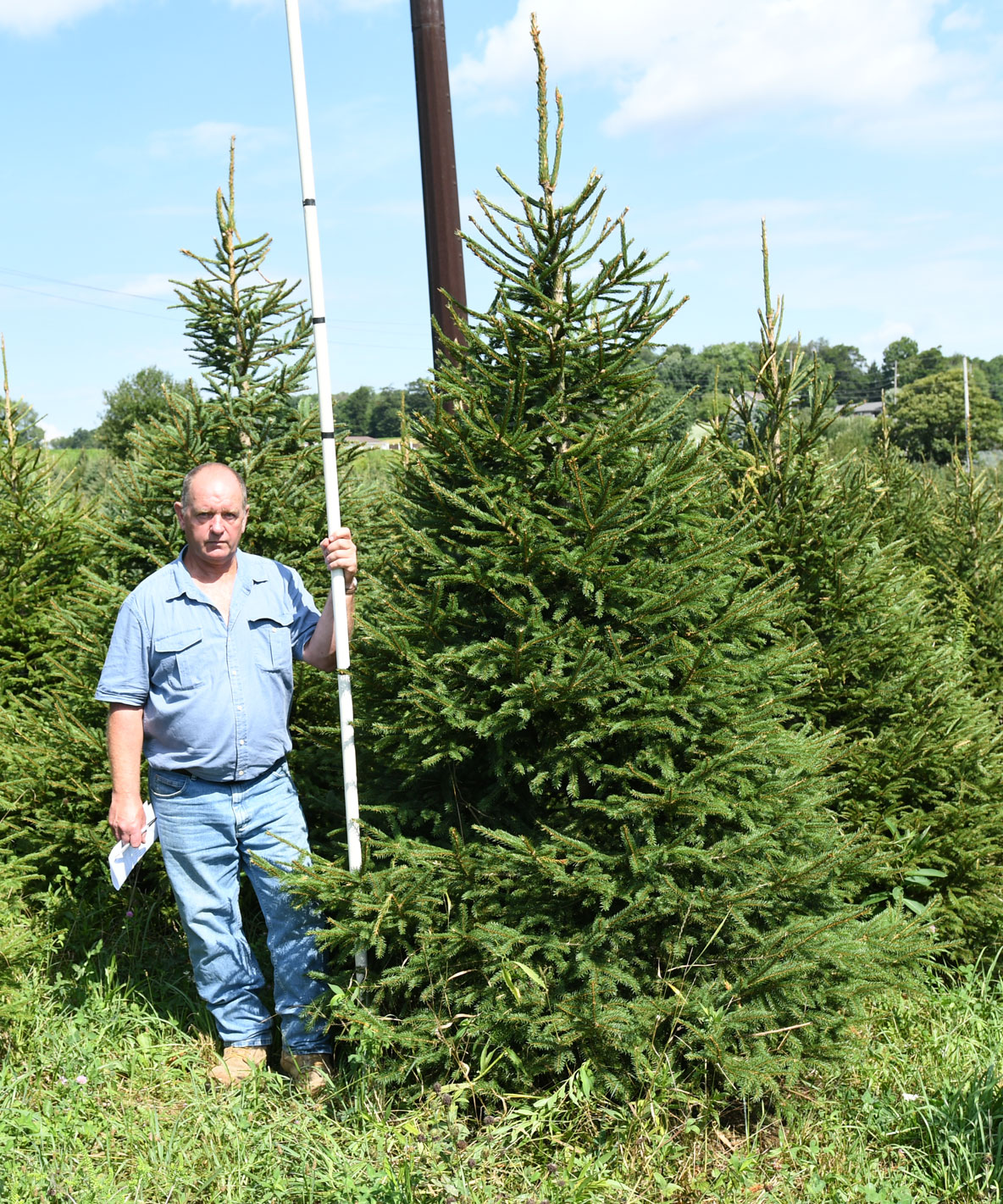 Norway Spruce 8'